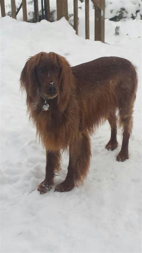 red setter dog rehoming 2136 best irish setter images on pinterest red setter