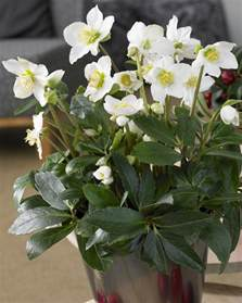 Foliage House Plants Pictures - helleborus niger white christmas roses pack of three plants in gold pots