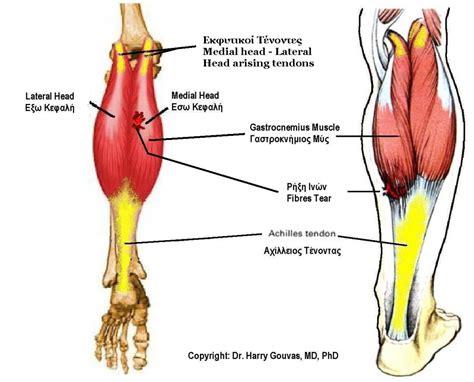 calf diagram gastrocnemius anatomy human anatomy system