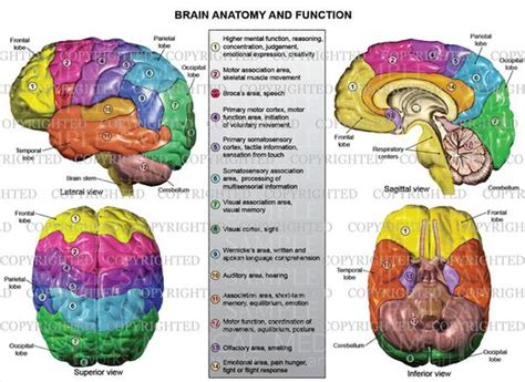 sections and functions of the brain brain anatomy and functions google search to know