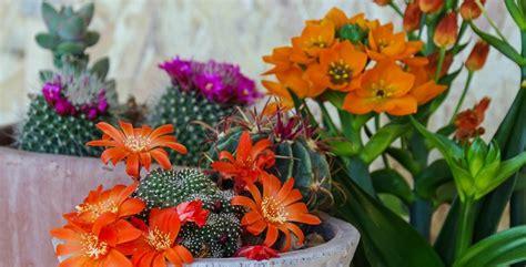 piante grasse con i fiori le piante grasse con i fiori dai colori pi 249 belli