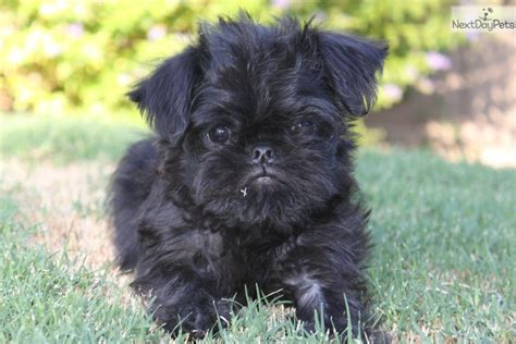 brussels griffon puppies for sale brussels griffon puppy for sale near arizona 46f609b9 6ae1