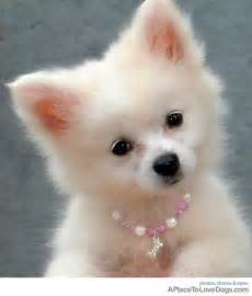 havanese pomeranian the havanese white puppy picture breeds picture