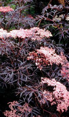 schwarzer holunder black lace sambucus nigra guincho purple wind resistant plants