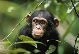 Chimpanzee HD Desktop Wallpapers   7wallpapers.net