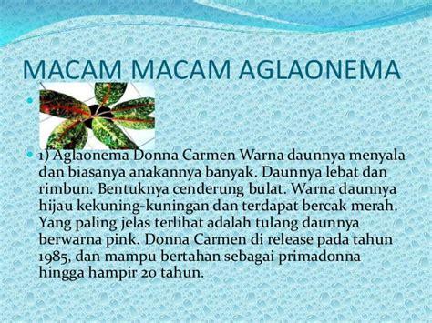 Tanaman Aglaonema Tissu aglaonema