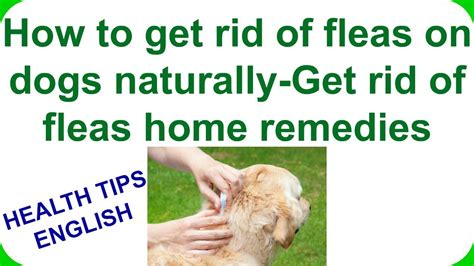how to get rid of dog lice in the house how to get rid of fleas on dogs naturally get rid of fleas home remedies youtube