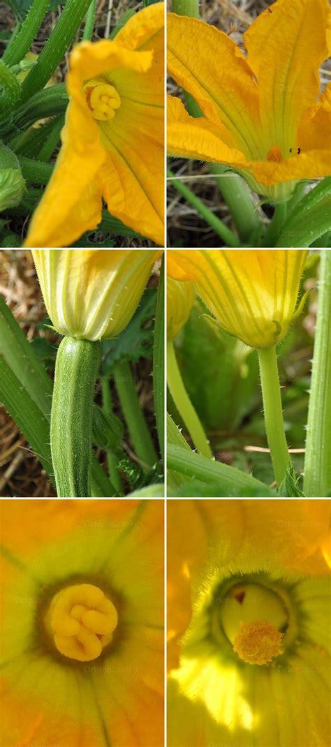 zucchino da fiore fiori di zucca o di zucchini orto naturale