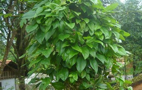 Bibit Tanaman Cincau Hijau Rambat khasiat tanaman apotek hidup yang wajib anda ketahui