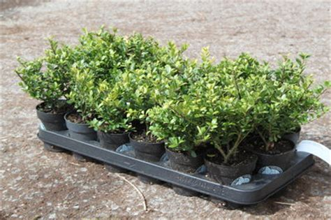 bambus samen kaufen 281 ilex crenata green lubera de