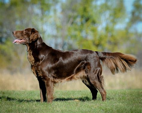 libro flatcoated retrievers the world lil dog whisperer flat coated retriever peter pan of the dog world