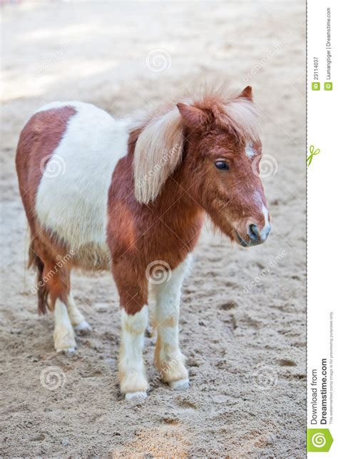 shetland pony stock photos images royalty free shetland shetland pony 2 royalty free stock photography image