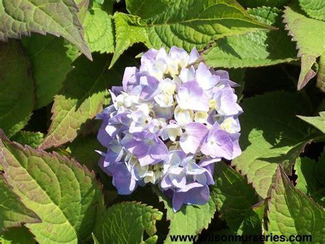 Hydrangea Macrophylla Endless Summer 4457 by Endless Summer 174 Hydrangea Wilson Nurseries