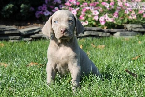 weimaraner puppies for sale near me weimaraner puppy for sale near lancaster pennsylvania 4c34822f b7d1