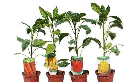 peperoni in vaso foto orto in vaso