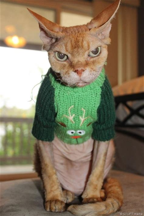 Sweater Cat 2 angry cat wearing a sweater dump a day