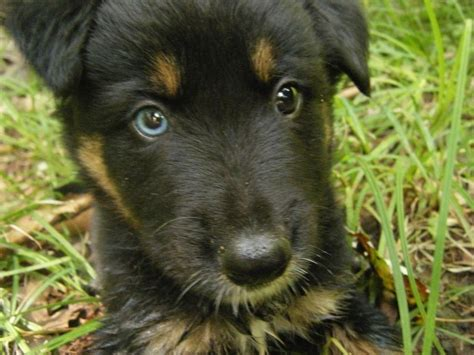 german shepherd eye color german shepherd puppy with two different colored