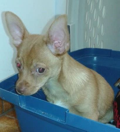 13 week puppy adopted aero 13 week chihuahua puppy a voice4paws canine rescue society