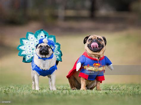dressed up pug pug owners celebrate pug o ween in melbourne getty images