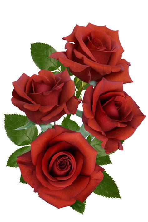 chocolate bush rose 8 quot pot hello hello plants