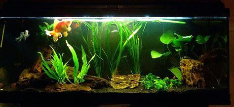 vasca pesce rosso pesce rosso molto pi 249 di una semplice boccia lacooltura