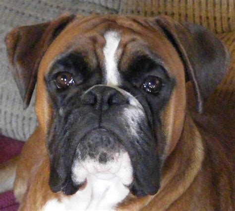 german boxer puppies 1000 images about german boxer on boxers boxer puppies and boxer dogs
