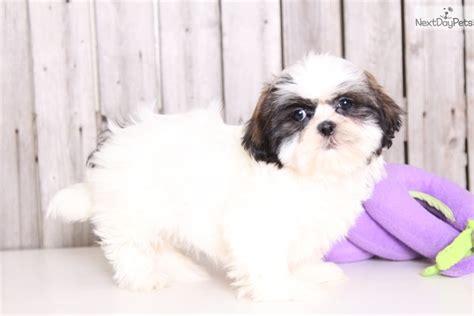 imperial shih tzu puppies in ohio camilla shih tzu puppy for sale near columbus ohio 5570df06 3501