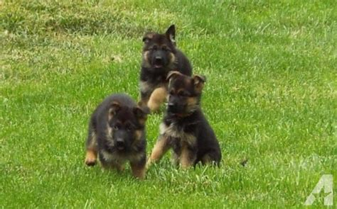 german shepherd puppies new mexico german shepherd puppies for adoption for sale in gallup new mexico classified