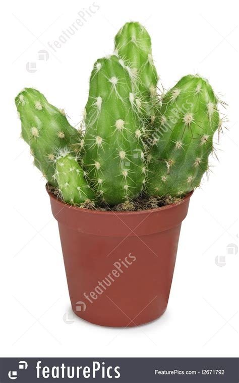 small potted cactus plants stock photo image 68600366 succulent plants group of cacti in small pot isolated on