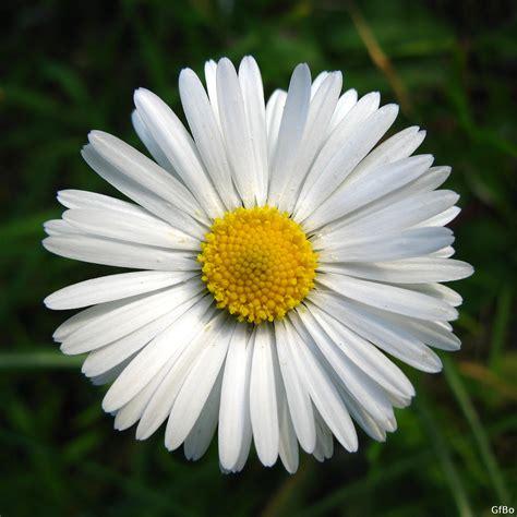 fiore margherita san valentino dillo con un fiore