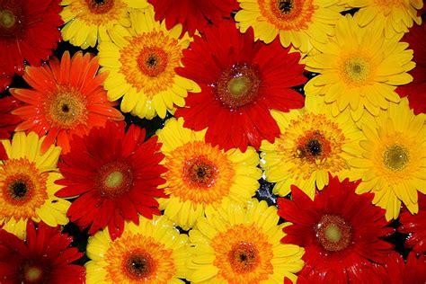 imagenes jpg flores file flores nagua jpg