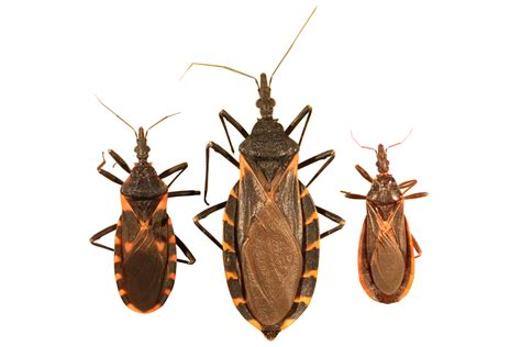 bug three kissing bug identification requires closer look insects