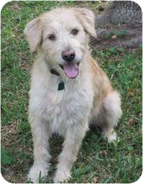 golden retriever terrier mix puppy finley adopted 4428 houston tx wheaten terrier golden retriever mix