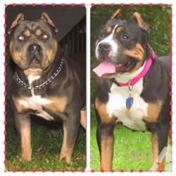 tri color american bully tri colored american bullies for sale in seekonk