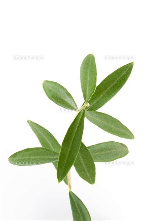 imagenes de hojas otoñales オリーブの葉 10137003561 写真素材 ストックフォト イラスト素材 アマナイメージズ