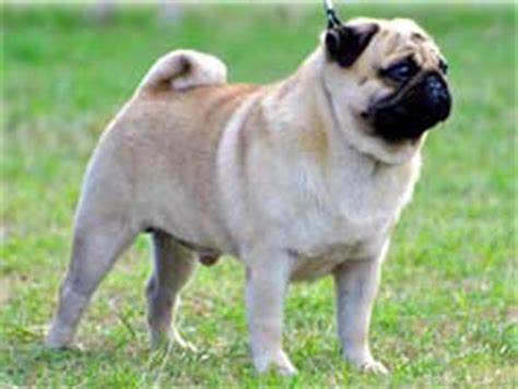 pug puppies price in india pug
