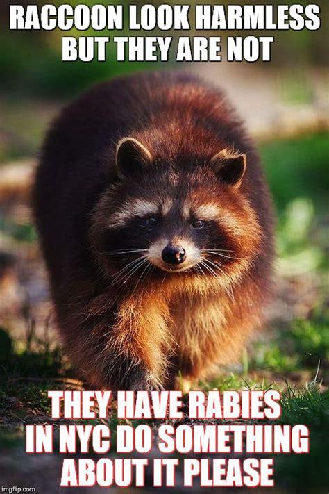 Meme Generator Raccoon - racoon walk imgflip