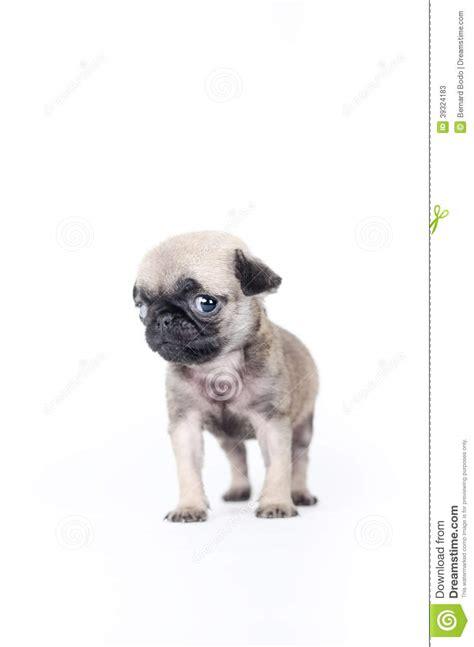 pug newborn puppies newborn pug puppy stock photo image 39324183