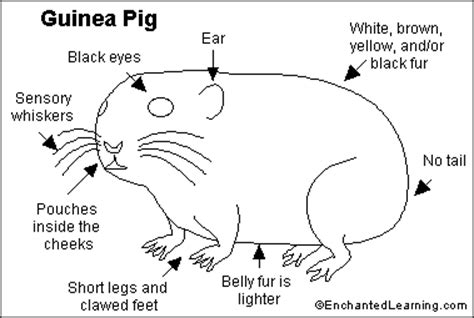 guinea pig diagram guinea pig printout enchantedlearning