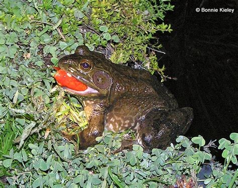 backyard frogs living with wild reptiles and amphibians