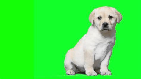 green labrador puppy green screen labrador puppy