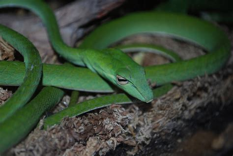 asian vine snake facts  pictures