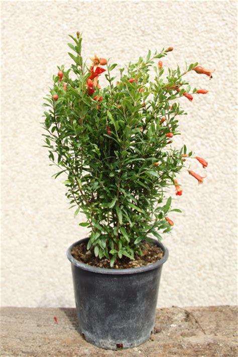 pianta di melograno in vaso melograno balestra vivai produzione piante