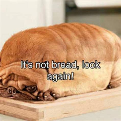 pug bread loaf that looks like pug that looks like a loaf of bread breeds picture pug bread loaf that looks like 212 best animals images on adorable animals