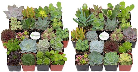 amazon succulents amazon twenty unique succulents only 31 99 today only