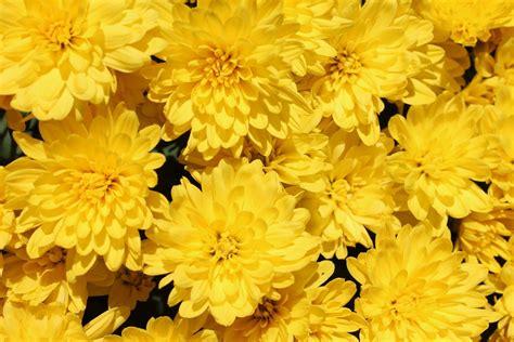 Yellow Flowers Garden 183 Free Photo On Pixabay Yellow Flower Garden