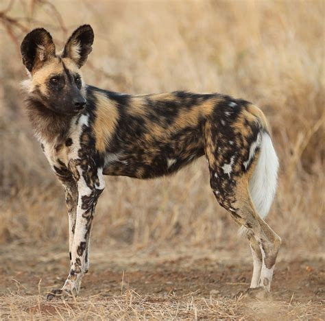 feral dogs thinglink