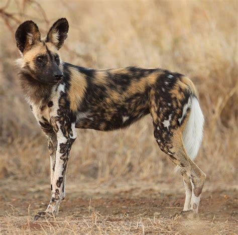 African Wild Dog - ThingLink