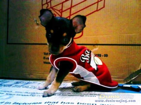 Rantai Anjing Murah dunia anjing jual anjing chihuahua puppy mini chihuahua non stambum no mix murah