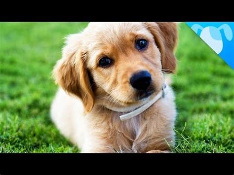 golden retriever information for golden retriever facts